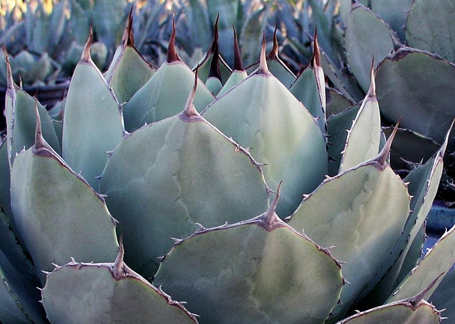 artichoke_agave