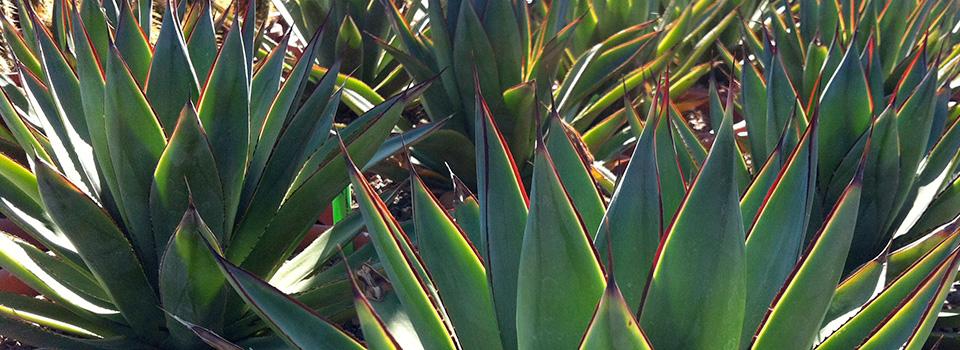 Amazing Cactus and Succulent Nursery in Tucson Arizona
