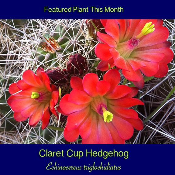 Claret cup hedgehog cactus
